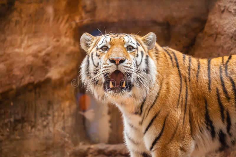Coloured tiger portrait in a park. A coloured tiger portrait in a park royalty free stock photography