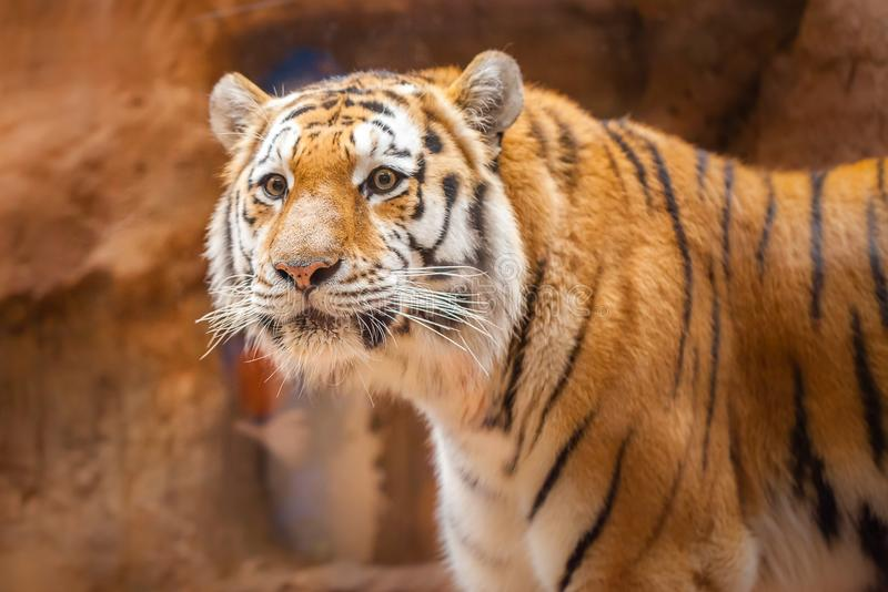 Coloured tiger portrait in a park. A coloured tiger portrait in a park royalty free stock images
