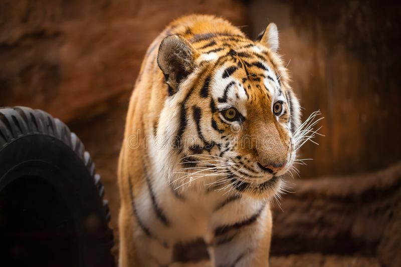 Coloured tiger portrait in a park. A coloured tiger portrait in a park stock photos