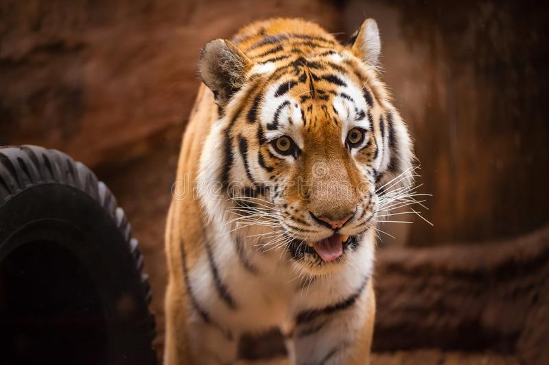 Coloured tiger portrait in a park. A coloured tiger portrait in a park royalty free stock photo