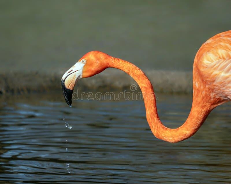 American Flamingo - Phoenicopterus ruber feeding, Gloucestershire, England. royalty free stock photo