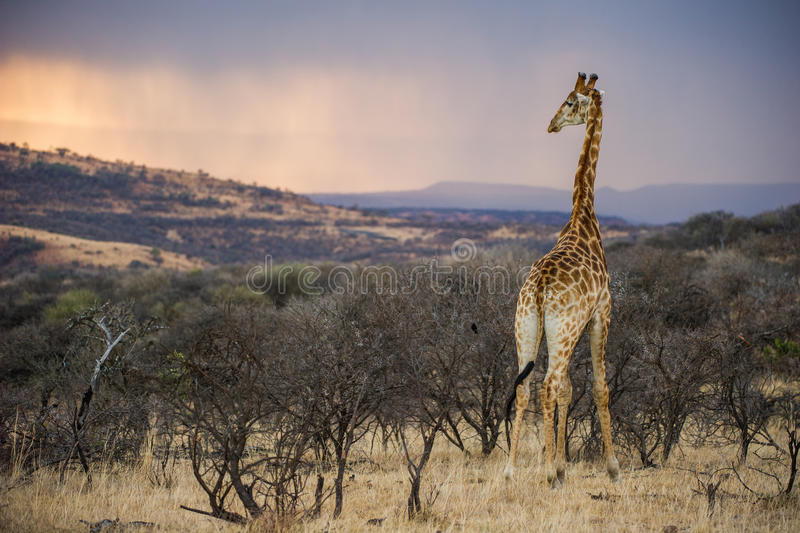 Colourful African Sunrise in a Giraffe South Africa. A true African Sunrise with a Giraffe in South Africa royalty free stock photo