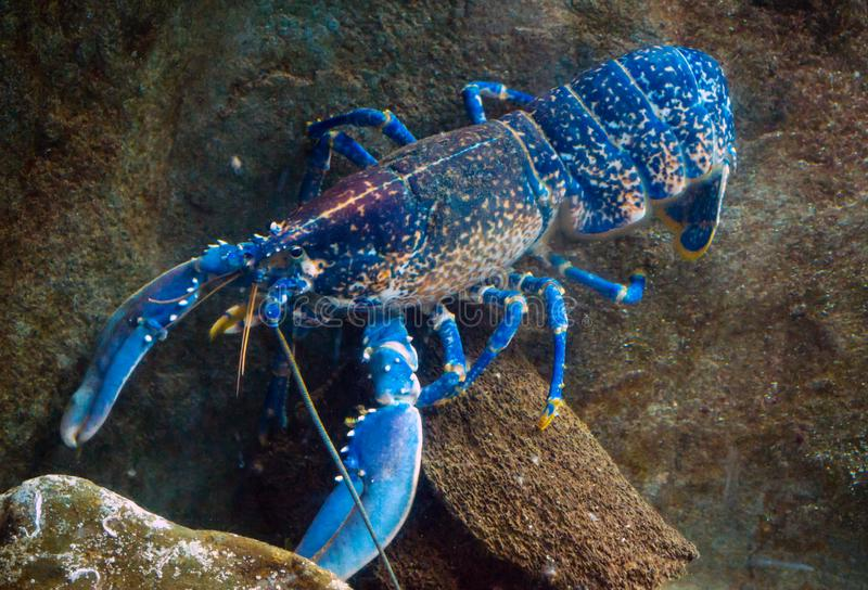 Colourful australian blue crayfish, lobster, cherax quadricarinatus in aquarium royalty free stock photo