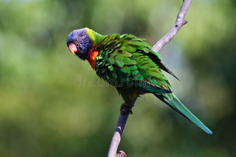 Colourful Australian Rainbow Lorikeet with fluffed up feathers. A colourful Australian Rainbow Lorikeet with fluffed up feathers perched on a branch royalty free stock image