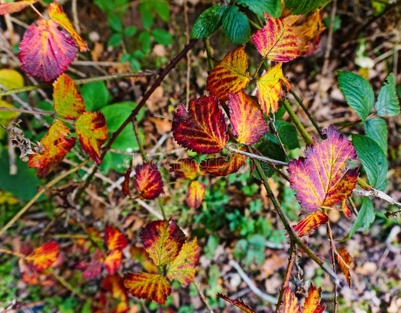 Colourful autumn leaves, royalty free stock photography