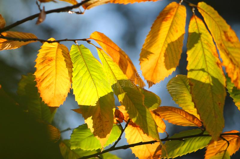 Colourful Autumn Leaves on branches in New Forest royalty free stock images