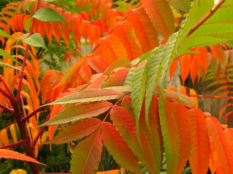 Colourful autumn. Red, green and orange shrub bush leaves. Vibrant autumn colours. Colourful autumn. Red, green and orange shrub bush leaves. Nature. Autumn royalty free stock images