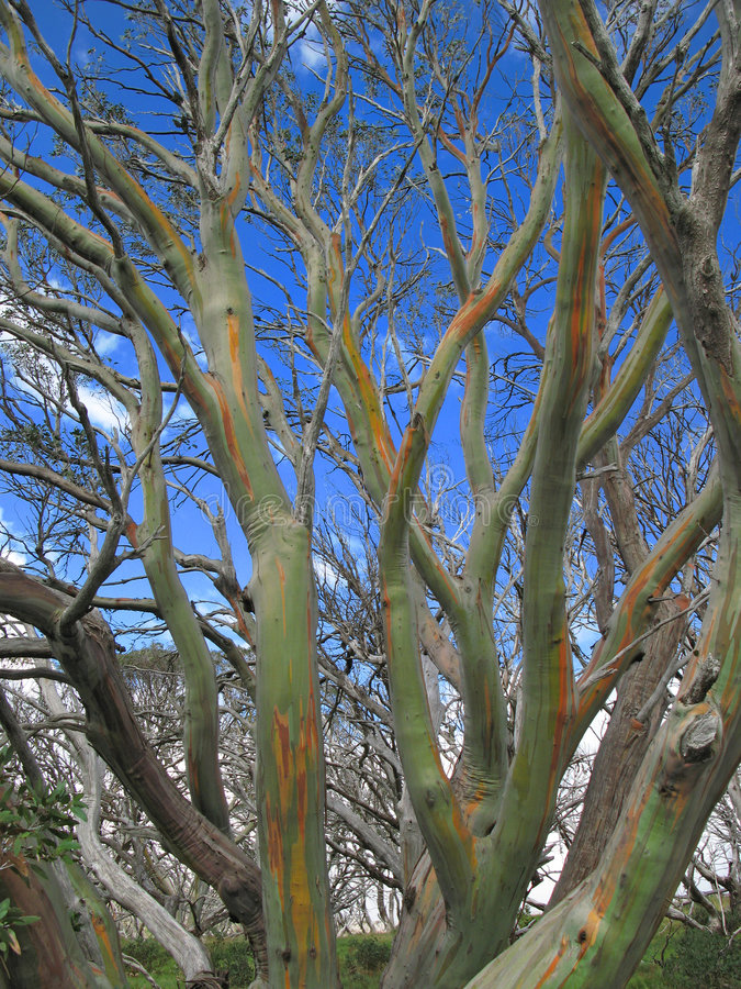 Colourful bark of snow gum tree stock photography