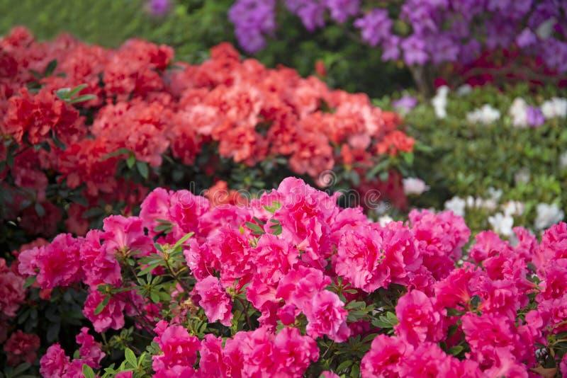 Colourful beautiful bright blooming azalea bushes royalty free stock image
