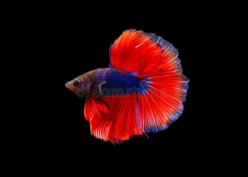 Colourful betta fish, Siamese fighting fish isolated on black background, Pla-kad biting fish Thai, Clipping path included royalty free stock photo