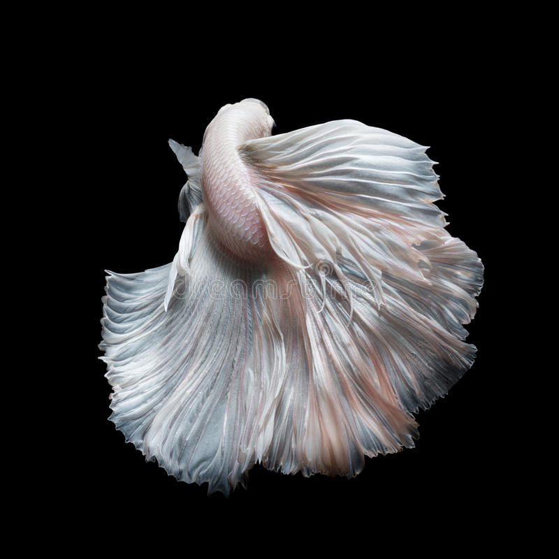 Colourful Betta fish,Siamese fighting fish. In movement isolated on black background royalty free stock photo