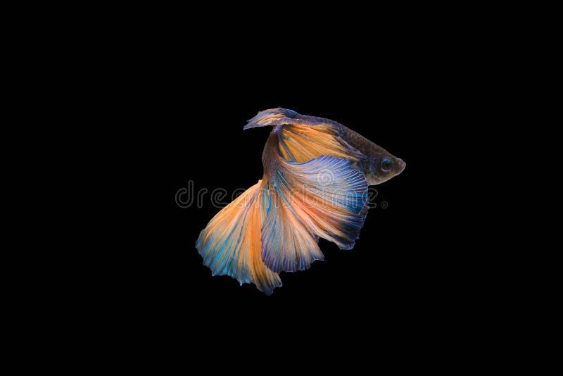 Colourful Betta ryba, Syjamska bój ryba w ruchu odizolowywającym zdjęcie royalty free