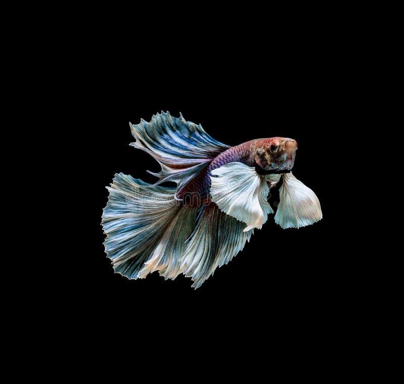 Colourful Betta ryba, Syjamska b?j ryba w ruchu odizolowywaj?cym na czarnym tle zdjęcie royalty free