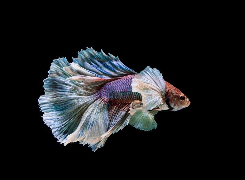 Colourful Betta ryba, Syjamska b?j ryba w ruchu odizolowywaj?cym na czarnym tle obraz stock