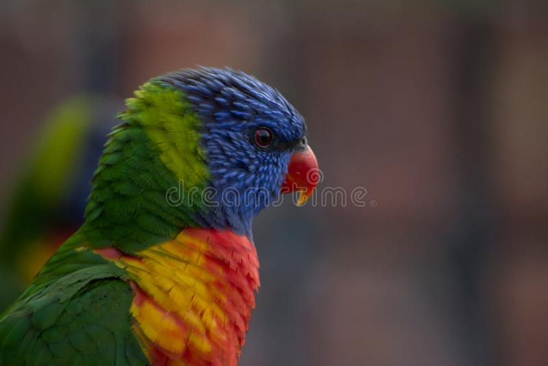 Colourful bird the Rainbow lorikeet. This colourful bird is a Rainbow lorikeet australian native bird. These birds are both friendly and noisy, but perhaps the stock photo