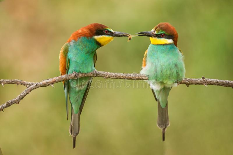 Colourful birds - European bee-eater Merops apiaster passes food to another bird royalty free stock photo