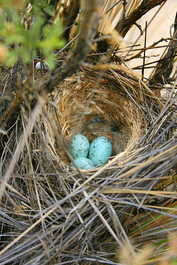 A colourful birds nest. A close up of a birds nest with colorful eggs stock photo