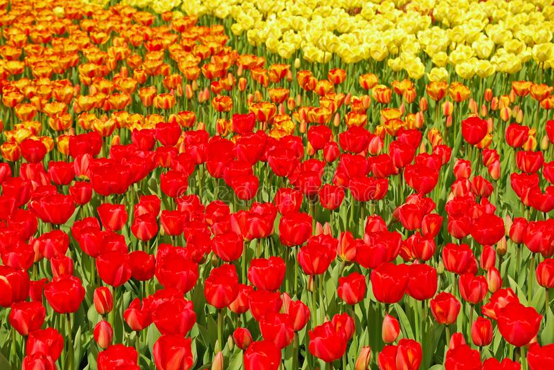Colourful blooming Tulips in Keukenhof during Spring. Bed of beautiful colourful Tulips consisting the red and yellow variety in Keukenhof Garden of Europe