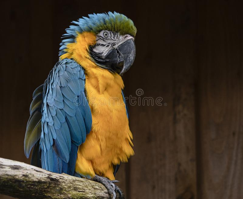 Blue an yellow macaw sits on its perch. Colourful blue and yellow parrot/macaw sits on a branch royalty free stock photo
