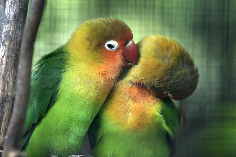 Colourful budgies royalty free stock photos