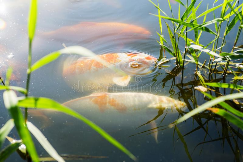Colourful charming Carp Fishes moving in pond with shadow and light reflection, Carp fishes swims under water surface stock image