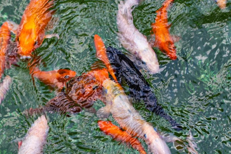 Colourful charming Koi Carp Fishes moving in pond. Carp fishes swims under water surface.  stock photos