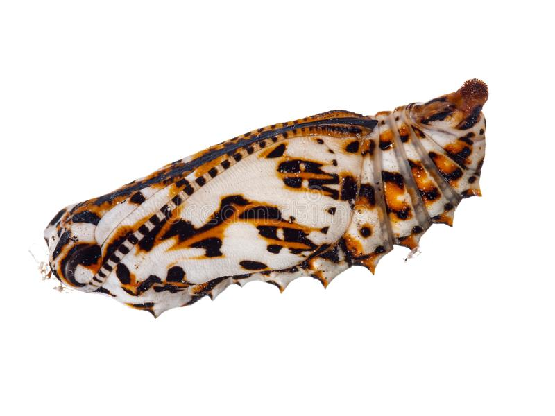 Colourful chrysalis, pupa of Melitaea didyma, the spotted fritillary or red-band fritillary. Fallen from wall, studio royalty free stock photo
