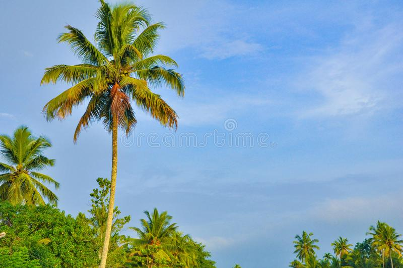 Kerala Coconut Tree Stock Images - Download 1,237 Royalty