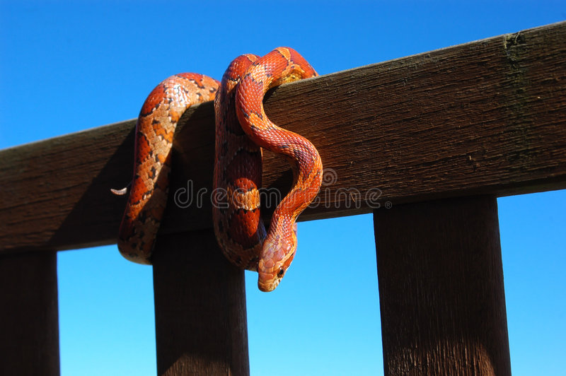 Colourful Corn Snake royalty free stock photography