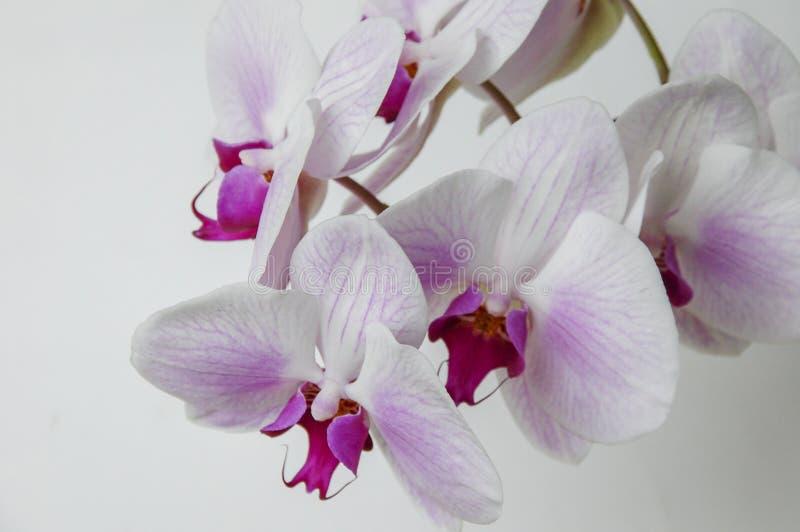 Colourful Cymbidium kwiat obrazy stock