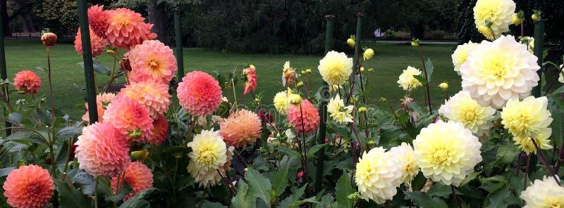 COLOURFUL DAHLIA FLOWERS royalty free stock photos