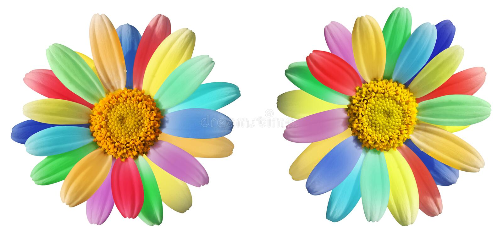Colourful daisy in rainbow colours. A pair of colourful bright daisies with their petals or rays in the colours of the rainbow isolated on white stock photos