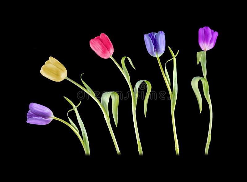 Colourful dancing Tulips stock photos