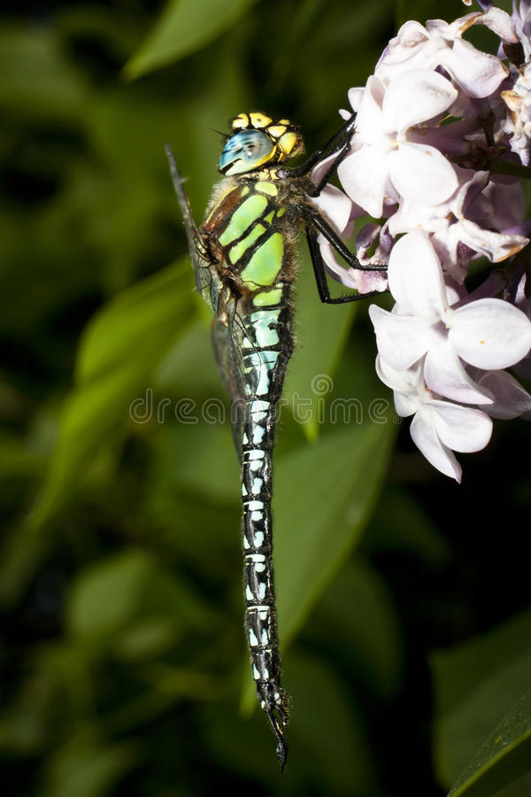 Colourful Dragonfly on lilac flower royalty free stock image