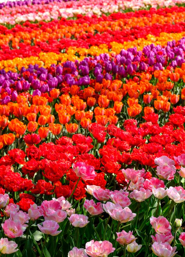 Flower fields with rows of colourful tulips near Keukenhof Gardens, Lisse, South Holland. Photographed in HDR high dynamic range. stock photo