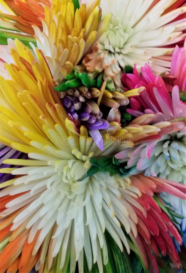 Gerbera Flowers. Gerberas are becoming fashionable again, particularly as cut flowers. Gone are the narrow petals and insipid pale orange and salmon flowers stock photo