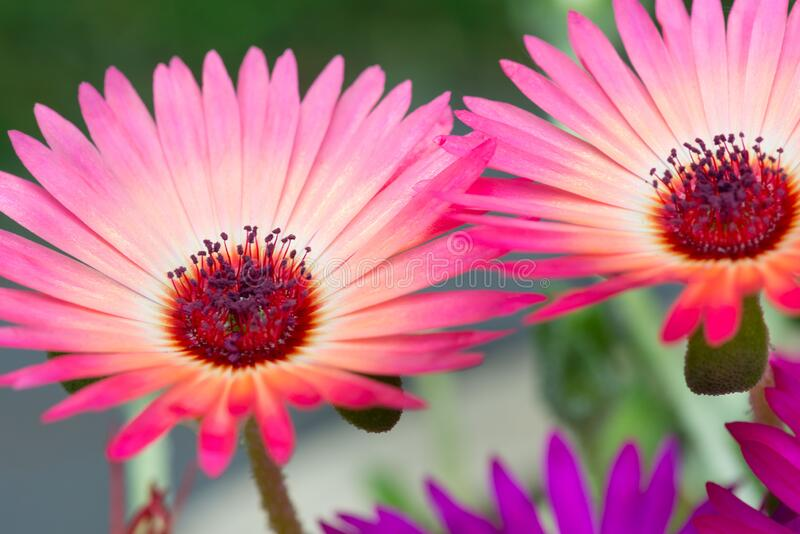 Colourful flowers of Delosperma, ice plant. Pistil and stamens of flowers stock photos