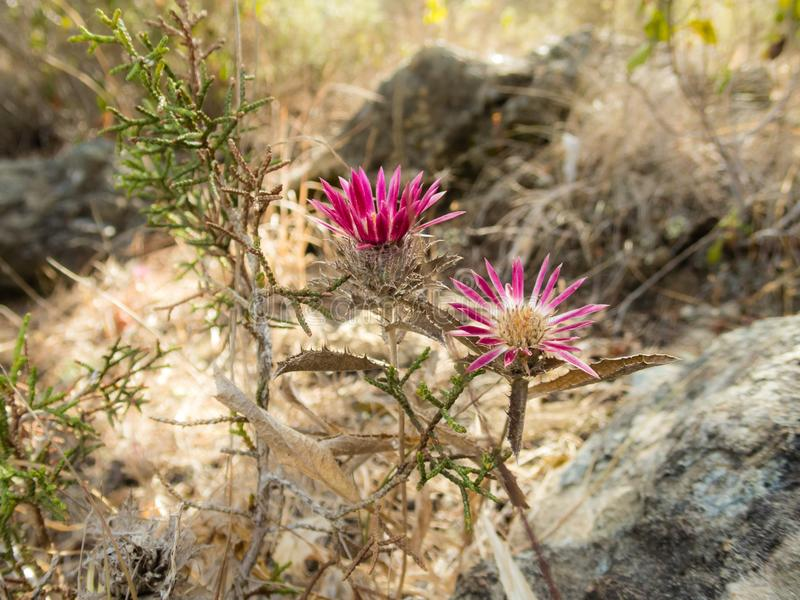 Magenta flowers on dry terrain in Akamas, Cyprus. Colourful flowers with magenta petals growing on dry terrain in Akamas, Cyprus stock photos