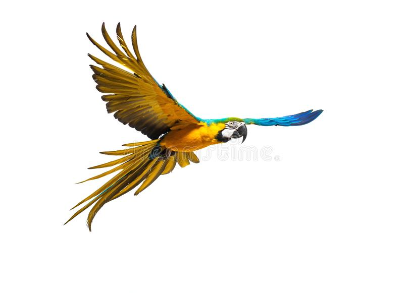 Colourful flying parrot stock image