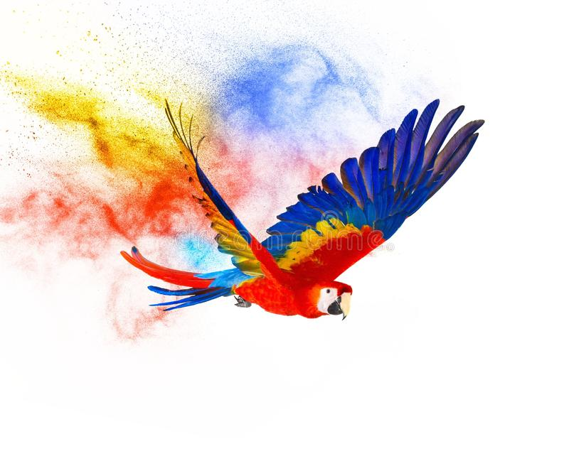 Colourful flying parrot. Isolated on white royalty free stock photo