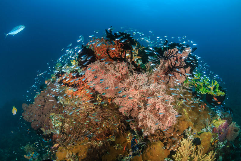 Colourful Glassfish pinakle na tropikalnej rafie koralowa obrazy stock