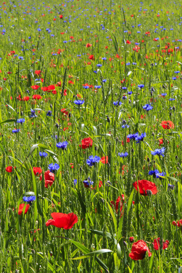 Colourful grain field with poppy flowers and corn flowers royalty free stock photo