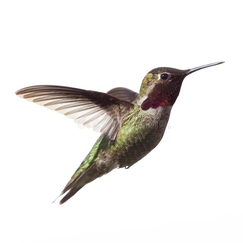 Male Anna`s Hummingbird frozen in time isolated against a white background stock photo