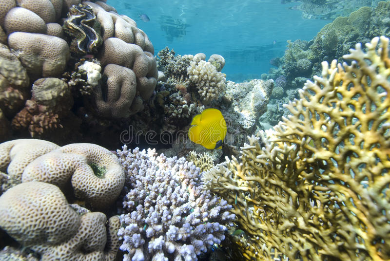 Colourful Hard corals. Pristine hard coral reef in clear water. Gordon reef, Gulf of Aqaba, Red Sea, Egypt royalty free stock photos