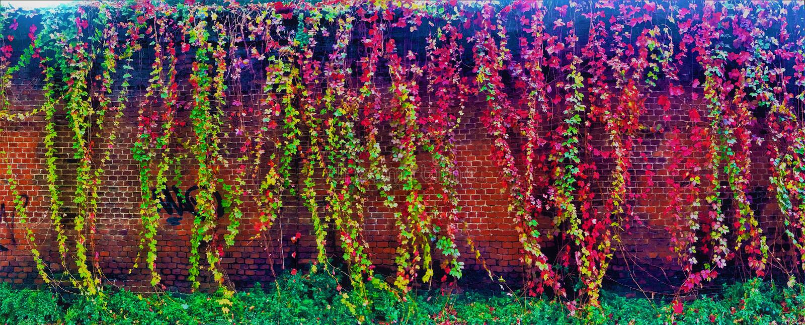Colourful ivy and wall stock photography