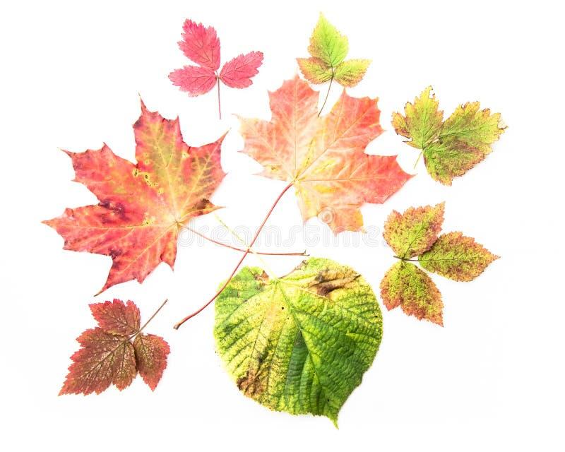 Colourful jesień liście odizolowywający na białym tle - colours sezony jesienni ziemia obrazy royalty free
