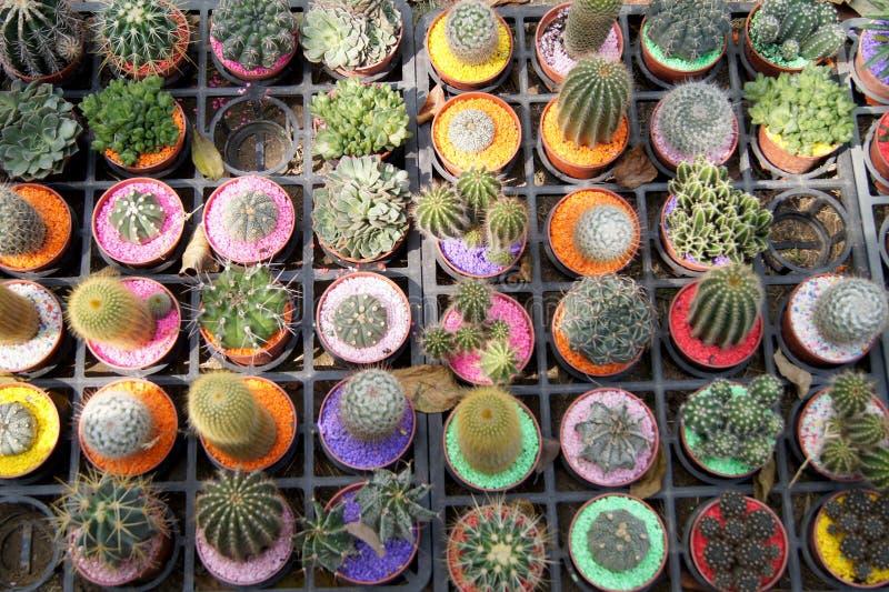 Colourful kaktusy w garnkach Czeka Kupującym zdjęcia royalty free