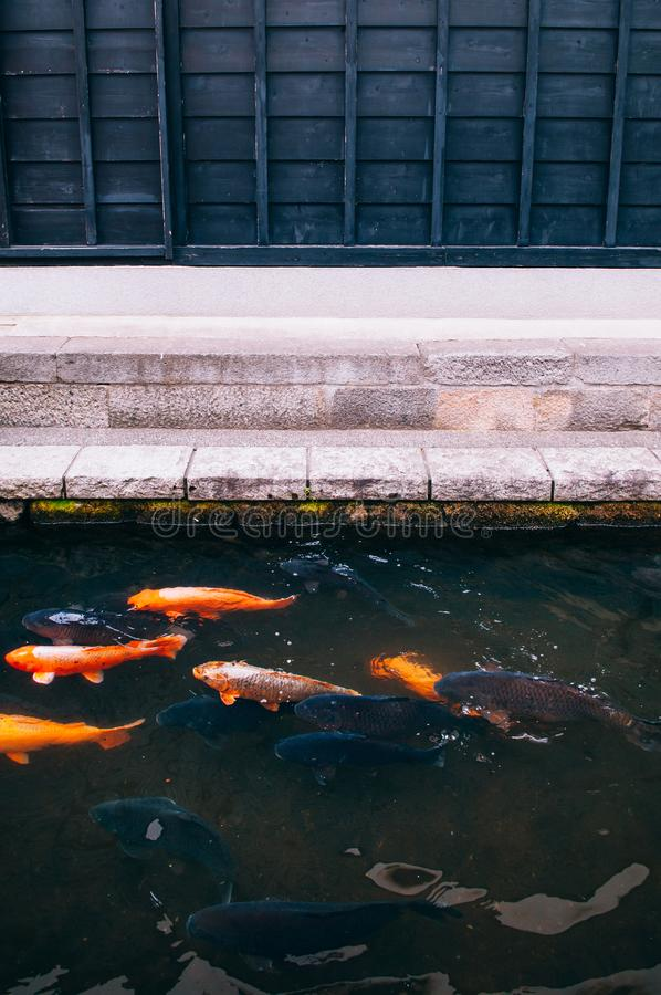 Colourful Koi Carp Fishes moving in pond with shadow and light r royalty free stock photos