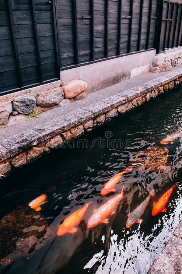 Colourful Koi Carp Fishes moving in pond with shadow and light r royalty free stock photography
