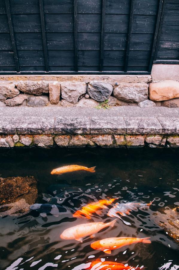 Colourful Koi Carp Fishes moving in pond with shadow and light r stock images